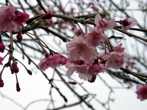 Sakura431