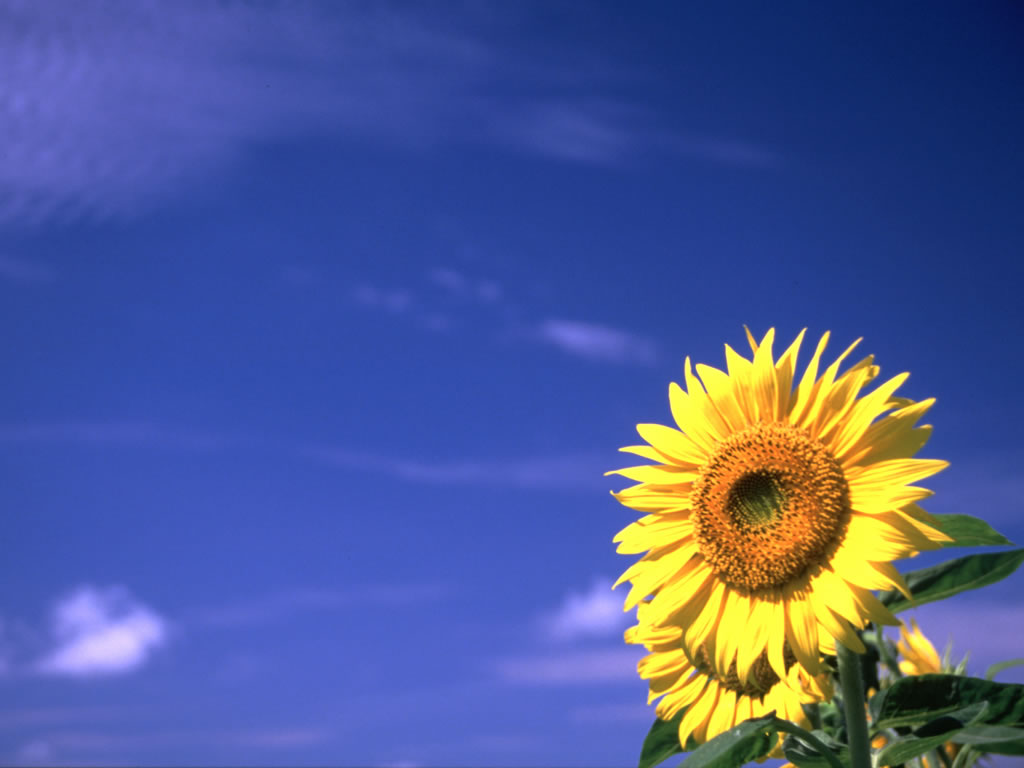 Sunflower_13