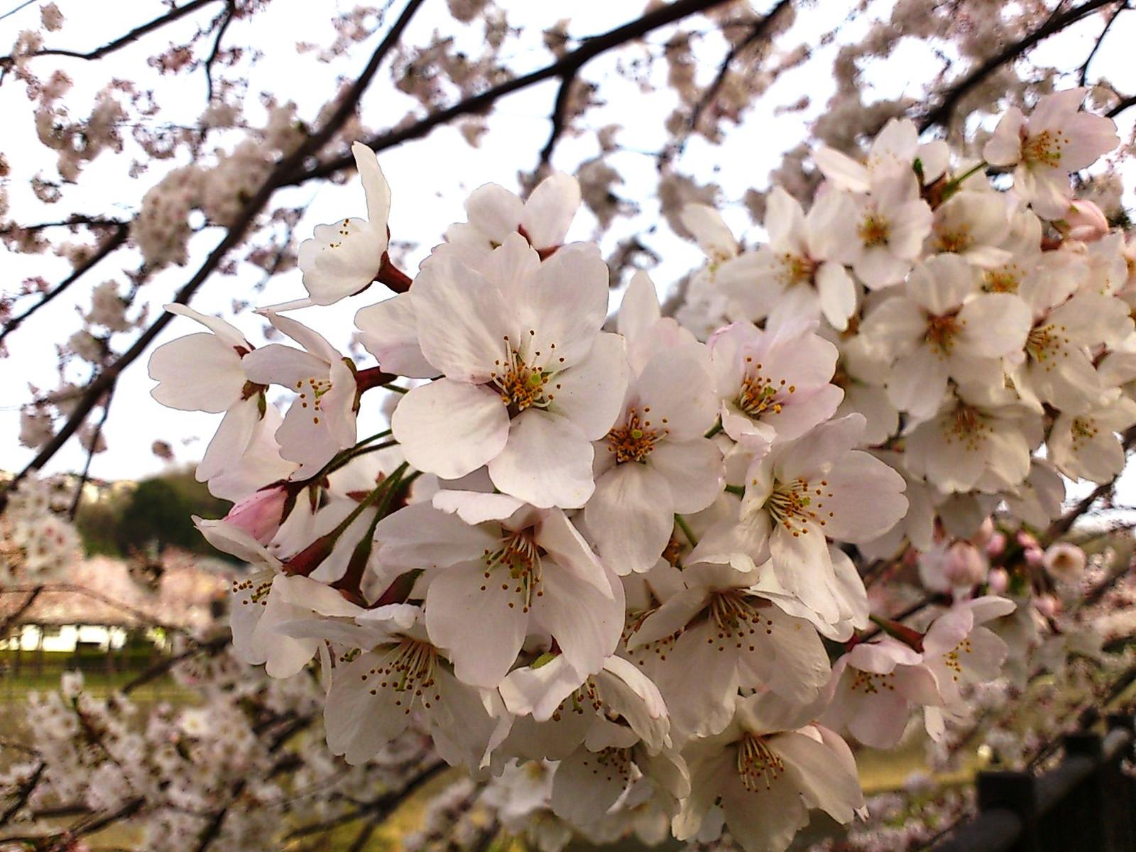 Sakurasakurasakura